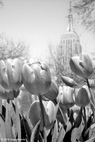 empire_tulips